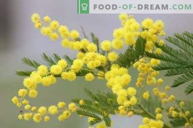 How to keep mimosa fluffy in a vase