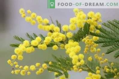 Hoe mimosa fluffy te houden in een vaas